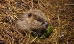 Beaver kit emerging from the lodge © Scottish Beaver Trial